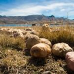 Chuño – Smak Boliwii