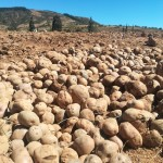 Pierwszy kontakt Europejczyków z ziemniakami